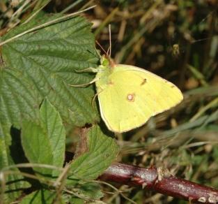 Clouded Yellow Butterfly, credit Mendip Hills AONB
