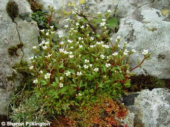 Rue-leaved saxifrage Saxifraga tridactylites, a common inhabitant of rocky crags. Photo. Sharon Pilkington.